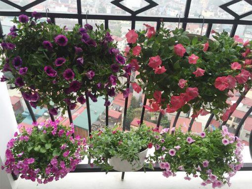 Đắm chìm với hoa dạ thảo dùng trang trí ban công